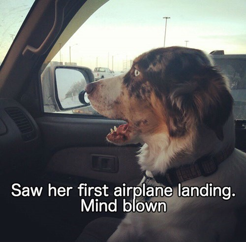 dogs mind blown chase airplane - 8393078272
