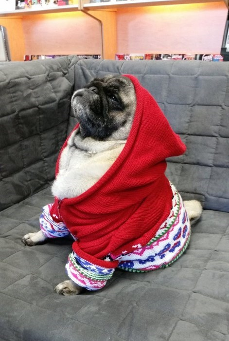 dogs,pug,poorly dressed,sweater