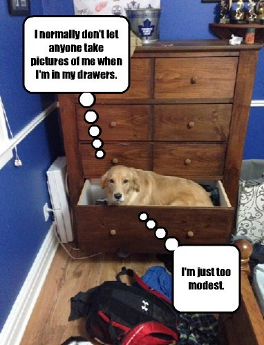 dogs,pun,golden retriever,if i fits i sits,prude