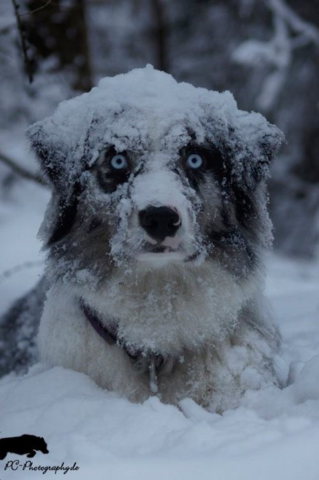 dogs white walker snow Game of Thrones winter - 8394664704