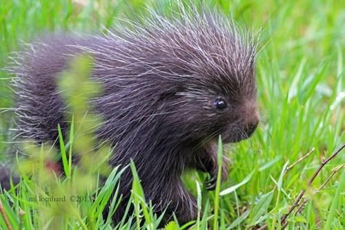 porcupine cute - 8396754688