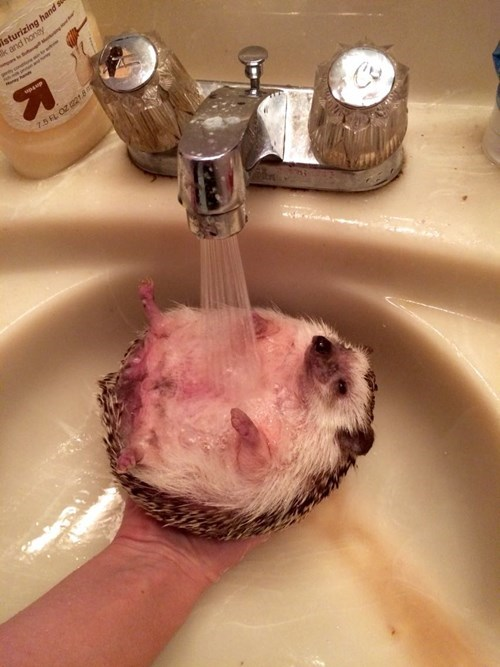 bath time,cute,hedgehog