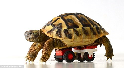 pets disabled turtle