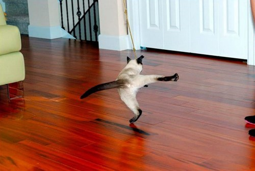 dance Cats siamese - 8398377984