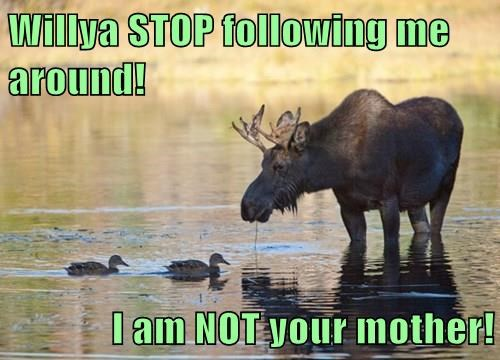 following,ducks,not your mother,moose,funny