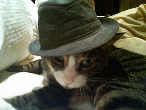 Cats fedoras - 8399435008