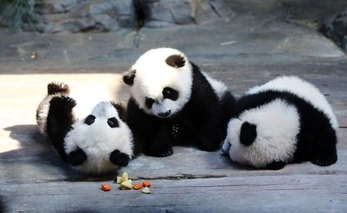 panda,cub,cute