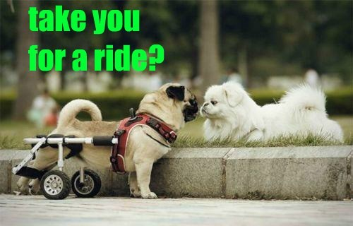 dogs wheels pugs