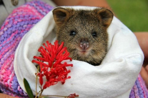 quokka,cute,cuddles