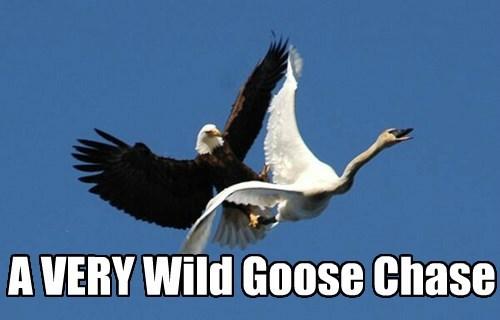 eagle,chase,goose