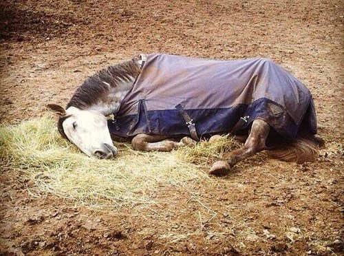 pony,cute,sleeping,horse