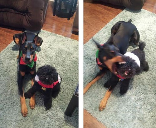 crazy,doberman pinscher,dogs,Photo