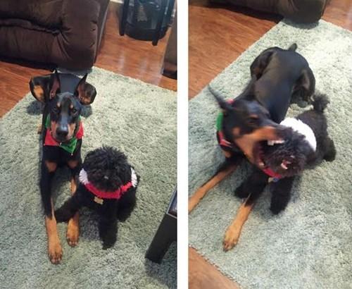 crazy doberman pinscher dogs Photo - 8402464512