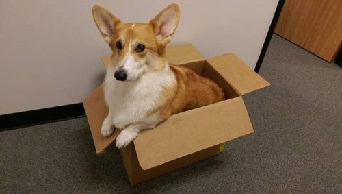 dogs,boxes,cute,corgi