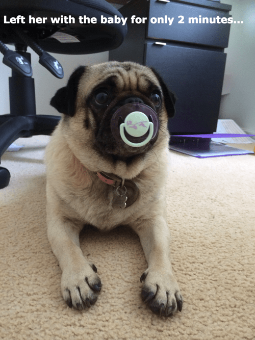 dogs,baby,pug,pacifier,parenting