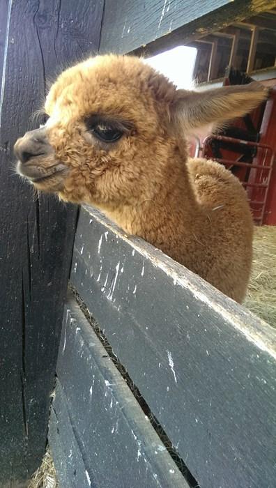 alpaca cute