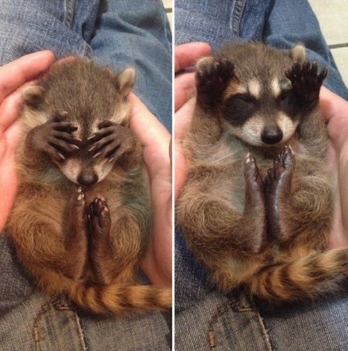 peek a boo raccoon cute - 8404367616