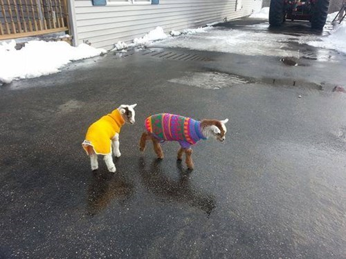 sweaters,goats,cute