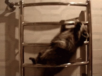 Raccoons Often Struggle With Ladders