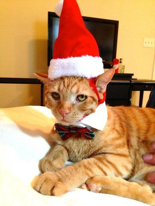 christmas,hats,Cats