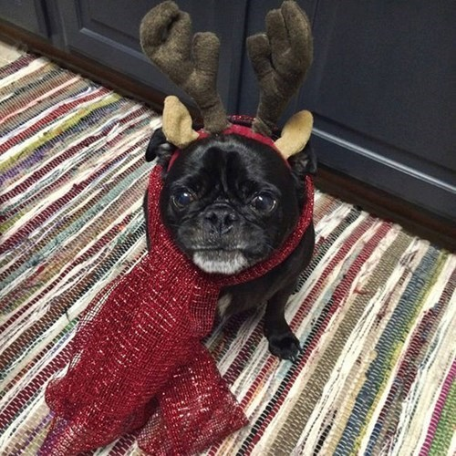 halloween costumes christmas dogs pug cute - 8406141440