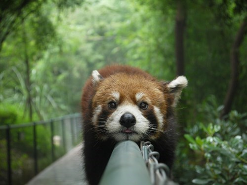 red panda,panda,fence,cute