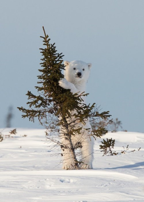 snow,polar bears,cute,tree