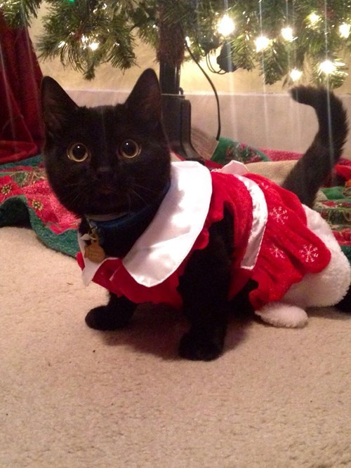 christmas,kitten,cute,Cats