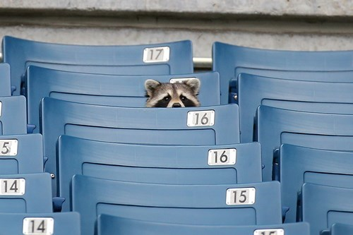 Funny pic of a raccoon sitting in the bleachers of an empty foot ball stadium and looks like the biggest sports fan ever.
