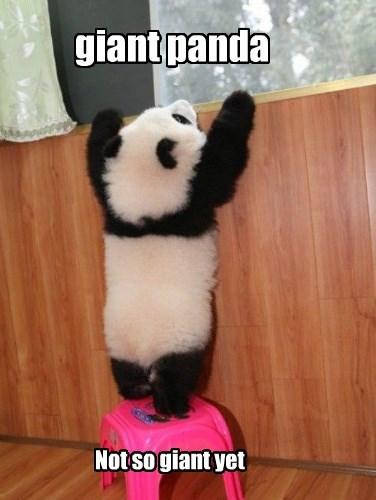 baby animals panda short - 8407237376