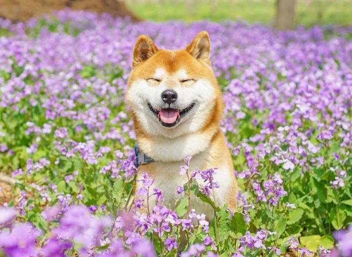 Hachi flowers shiba inu - 8408581