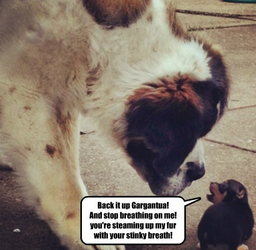 dogs st bernard puppy attitude - 8409112320