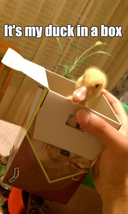 baby animals,box,puns,ducks,squee