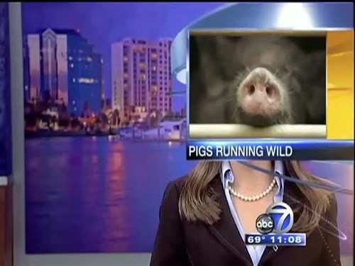 news,live news,pig
