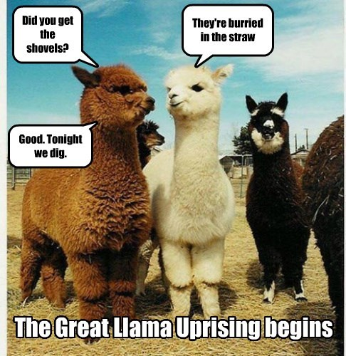 Did you get the shovels? They're burried in the straw Good. Tonight we dig. The Great Llama Uprising begins