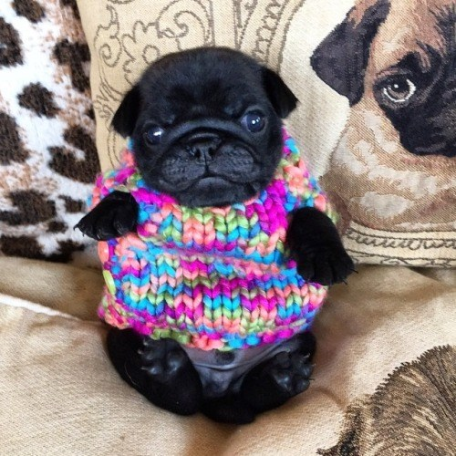 pug,puppy,cute,clothes
