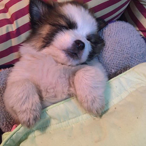 dogs,puppy,cute,sleeping