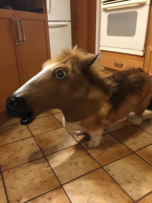 costume,dogs,mask,corgi,horse