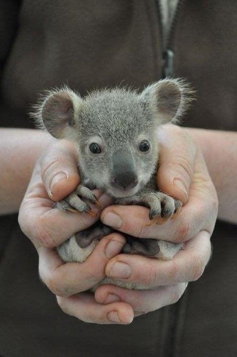 cute,koala