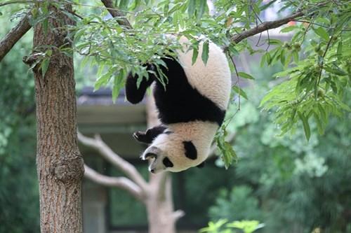 panda,cute,tree