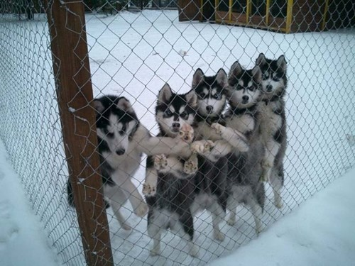 dogs escape let me out husky - 8422703360