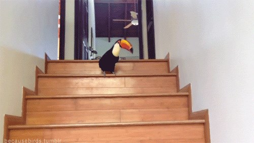 Toucan Takes Stairs