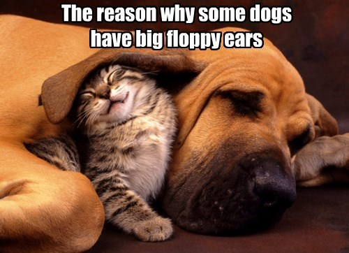 The reason why some dogs have big floppy ears