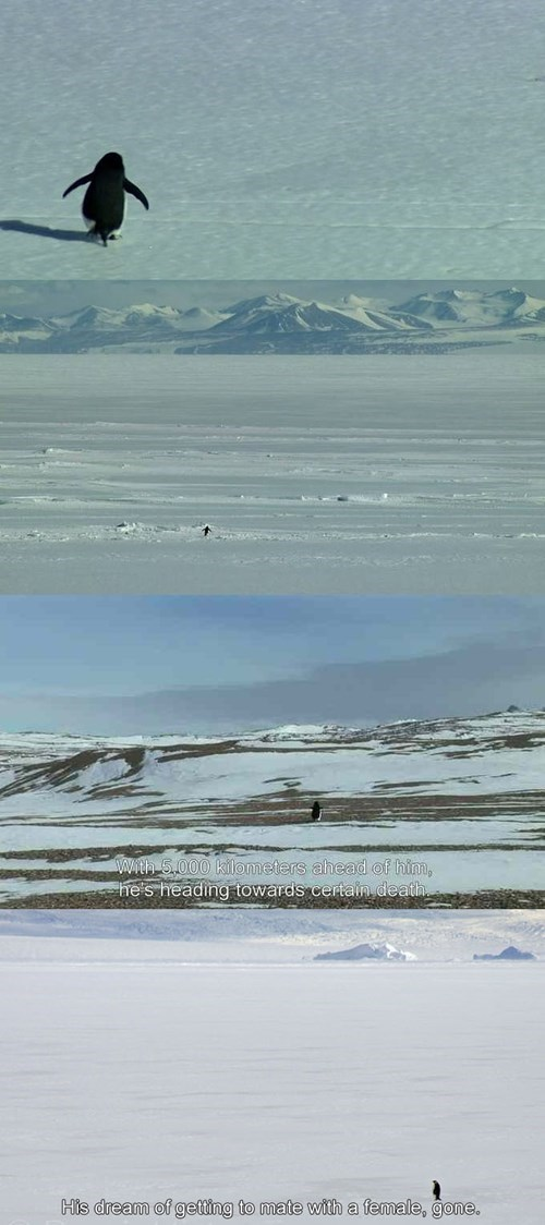 lonely penguin will never get to mate