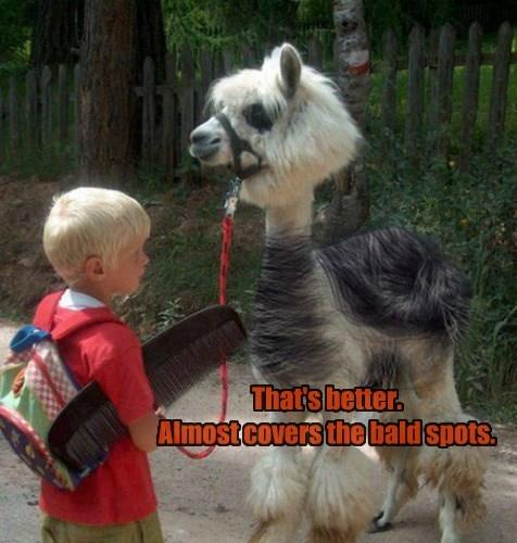 llama kids bald combover - 8428143872