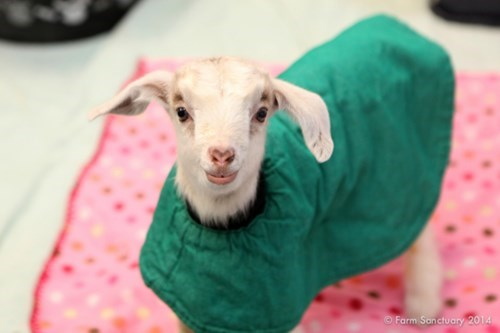 Just a Fabulous Goat in a Fashionable Coat