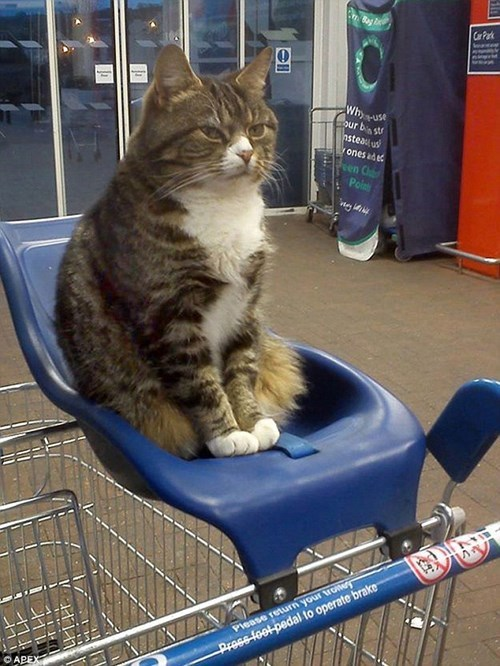shopping Cats grocery store