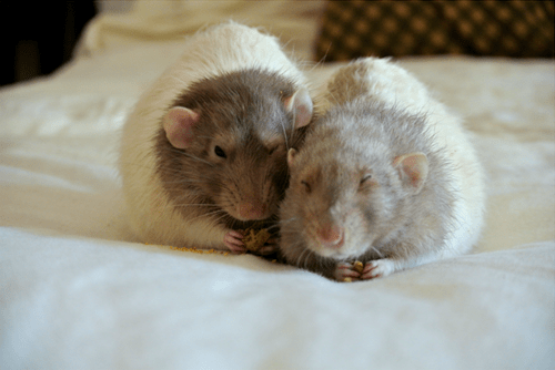 cute food rats sleeping - 8430809856