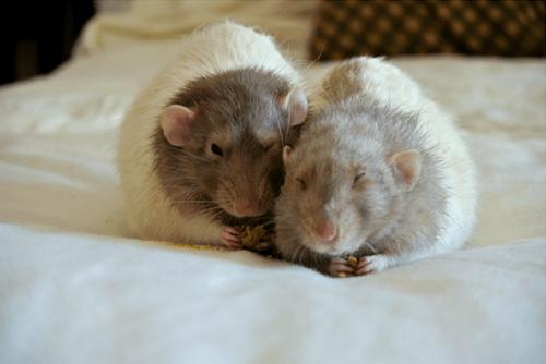 cute food rats sleeping - 8430809856