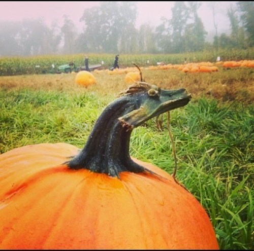 dragon pumpkins totally looks like - 8432005376